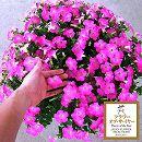[17年4月中旬予約]ペチュニア:マドンナの宝石(ピンク)3.5号ポット