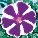 アサガオ曜白朝顔:富士の紫2.5号ポット