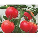 [17年5月中旬予約]トマト:房なりミニあまみトマト・レッド大苗4号ポット