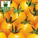 [17年5月中旬予約]トマト:房なりミニあまみトマト・イエロー大苗4号ポット
