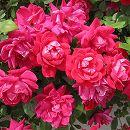 [17年5月中旬予約]四季咲中輪バラ:ダブルノックアウト新苗