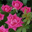 [17年5月中旬予約]四季咲中輪バラ:ピンクダブルノックアウト新苗