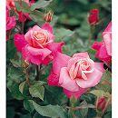 四季咲中輪バラ:プリンセス チチブ新苗