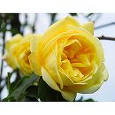 [17年5月中旬予約]つるバラ:カジノ新苗