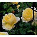 [17年5月中旬予約]デルバールローズ:ソレイユ・ヴァルティカル新苗4号鉢植え