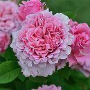 [17年5月中旬予約]デルバールローズ:ビアンヴニュ新苗4号鉢植え