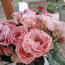 [17年5月中旬予約]デルバールローズ:ブーケ・マリエ新苗4号鉢植え