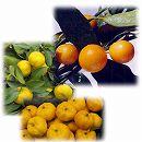 縁起のよい柑橘2種栽培セット(福来(ふくれ)みかん・金柑プチマル)