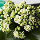カランコエ:クイーンモアフラワーズ パリ4号鉢植え