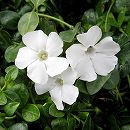 ビンカ ミノール(ヒメツルニチニチソウ):白花緑葉3号ポット12株セット