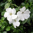 ビンカ ミノール(ヒメツルニチニチソウ):白花緑葉3号ポット24株セット