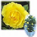 [バラ行燈予約]つるバラ:ゴールドバニー8号大型アンドン仕立て
