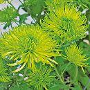 [17年4月中旬予約]切花菊苗:緑菊シャムロック2.5号ポット