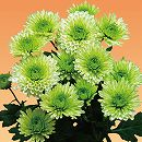 [17年4月中旬予約]切花菊苗:緑菊エルドルフィン2.5号ポット