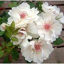 [バラ行燈予約]つるバラ:ジャクリーヌ・デュ・プレ8号大型アンドン仕立て