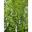 カツラ(桂):樹高1.8m根巻き