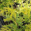 アメリカサイカチ:サンバースト樹高80cm〜1m根巻き