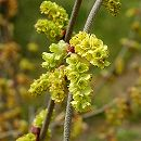 トサミズキ:ニオイトサミズキ樹高1m根巻き