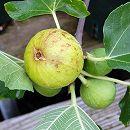 鉢植え果樹 イチジク:コナドリア8号鉢植え