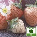 イチゴ:とうくん(桃薫)3号ポット3株セット