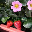 イチゴ:四季なりいちご桃娘3号ポット3株セット