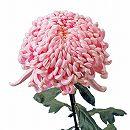 [17年4月中旬予約]大菊厚物(あつもの):国華おたけび2.5号ポット
