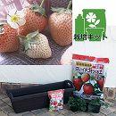 [17年2月中旬予約]いちごプランター栽培セット:イチゴ:とうくん(桃薫)3株セット