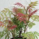 ナナカマド:ホザキナナカマド セム ルートバック樹高60〜70cm