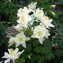 オダマキ:オリガミ ホワイト3号ポット3株セット