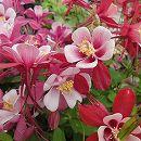 オダマキ:オリガミ レッド&ホワイト3号ポット3株セット