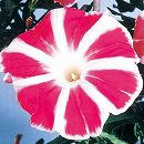 アサガオ曜白朝顔:富士の紅2.5号ポット3株セット