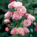 [17年5月中旬予約]つるバラ:群舞(ぐんまい)新苗