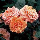 [17年5月中旬予約]四季咲中輪バラ:花菜ローズ(かなろーず)新苗