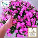 [17年4月中旬予約]ペチュニア:マドンナの宝石(ピンク)3.5号ポット 12株セット