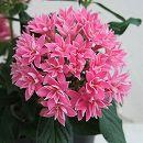 八重咲きペンタス:ライカディープピンク3.5号ポット