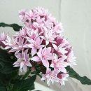 八重咲きペンタス:ライカライラック3.5号ポット