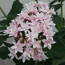 八重咲きペンタス:ライカアイボリー3.5号ポット