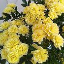 モッコウバラ:黄花5号鉢植えあんどん仕立て(キモッコウバラ)