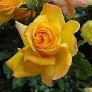 つるバラ:サハラ'98新苗