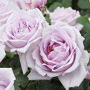 [17年5月中旬予約]つるバラ ブルームーン新苗