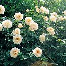 [17年5月中旬予約]つるバラ:ロココ新苗