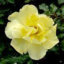 つるバラ:ゴールデンシャワーズ新苗