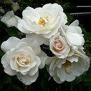 [17年5月中旬予約]四季咲中輪バラ:アイスバーグ新苗