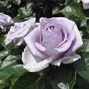 [17年5月中旬予約]つるバラ:ブルーバユー新苗