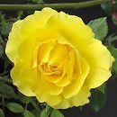 [17年5月中旬予約]つるバラ:ゴールドバニー新苗