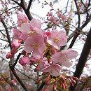 桜:河津桜接木苗4〜5号ポット