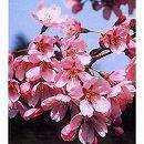 桜:雅桜(ミヤビザクラ)接木苗4〜5号ポット