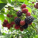 木いちご(キイチゴ):ブラックベリー ボイソンベリー4〜5号ポット