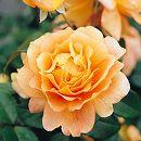 四季咲中輪バラ:万葉(まんよう)大苗