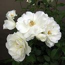 四季咲中輪バラ:アイスバーグ大苗